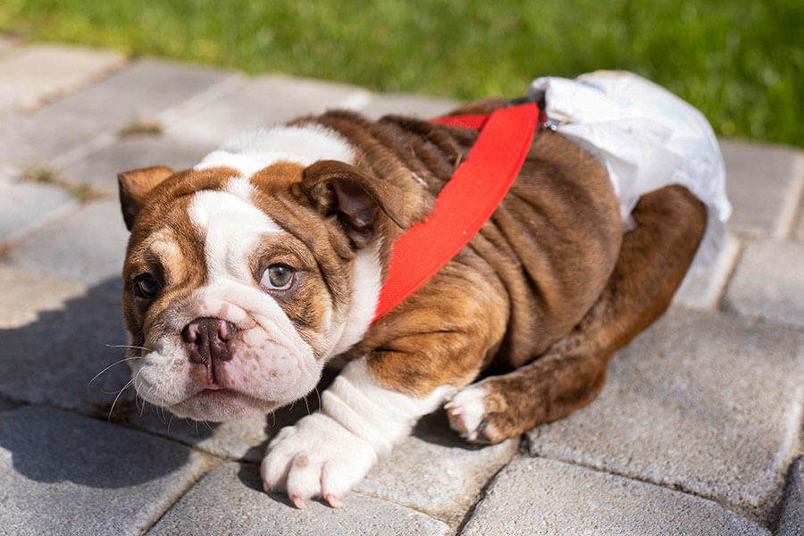 bulldog puppy with diaper and suspenders