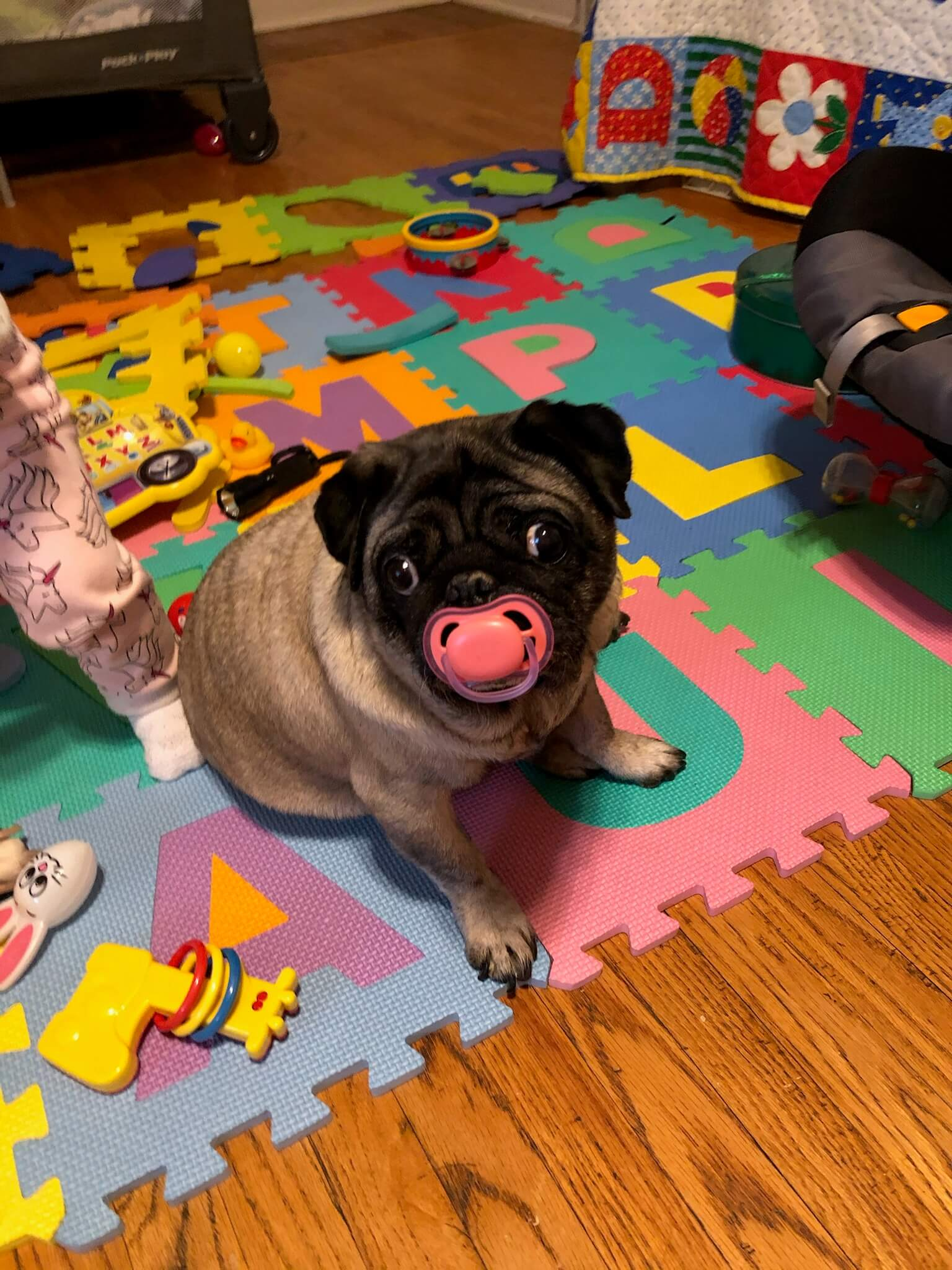 Road Dogs and Rescue Sponsor Dog Furever Foster Pug