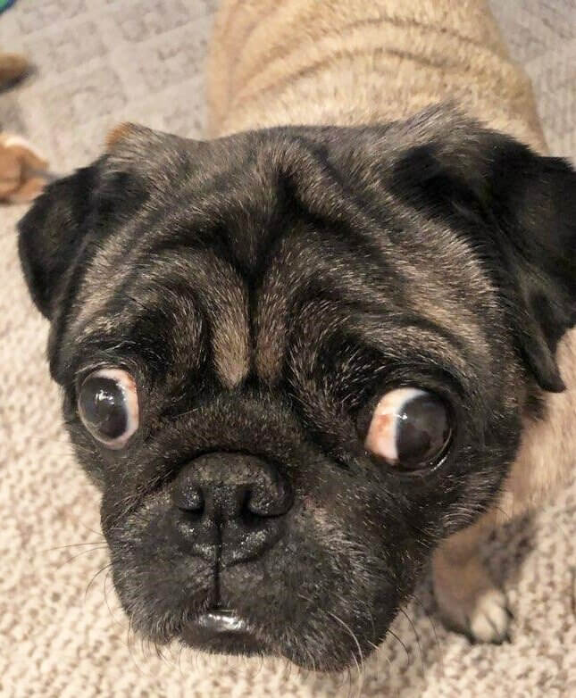 Road Dogs and Rescue Sponsor Dog Pug aka Pat