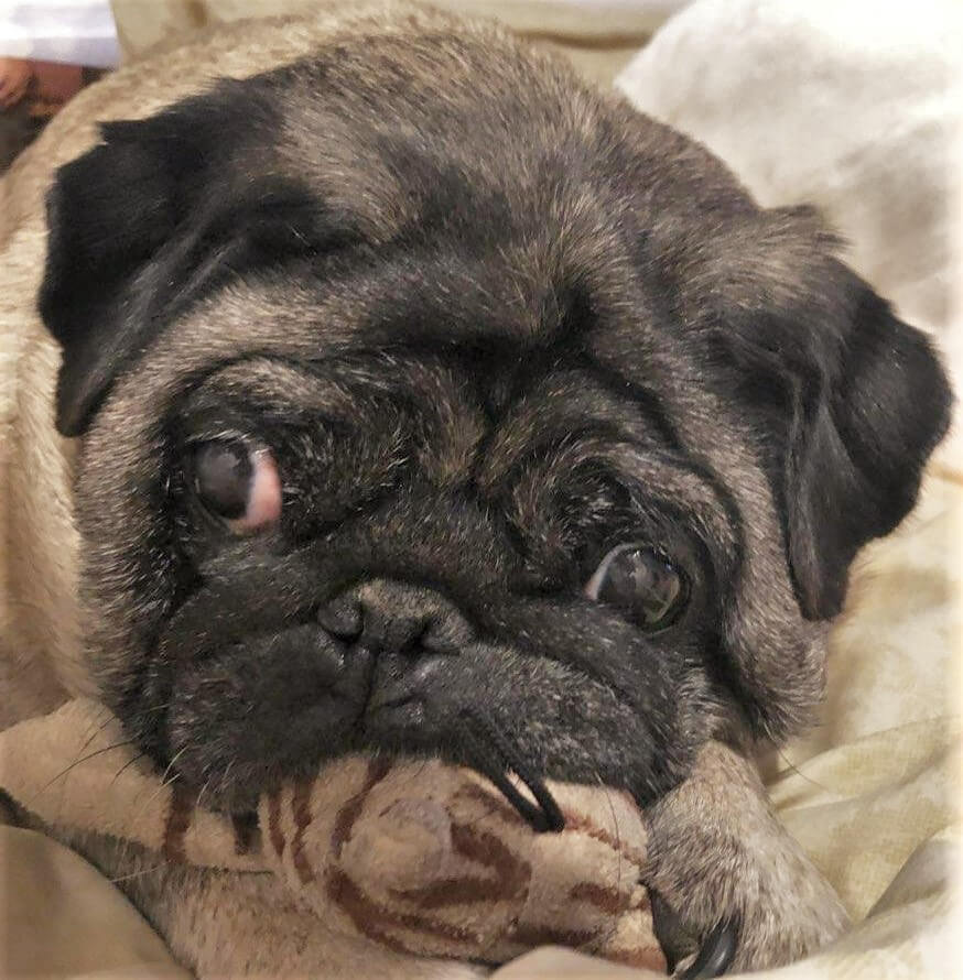 Road Dogs and Rescue Sponsor Dog Pat aka Pug and Toy
